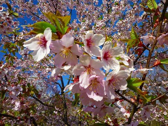 15,3,28 シュゼンジ寒桜 (2)