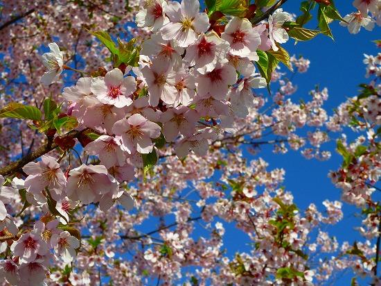 15,3,28 シュゼンジ寒桜