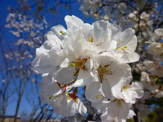 15,3,28 越の彼岸桜