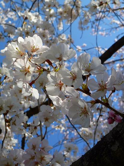 15,3,28 越の彼岸桜 (2)