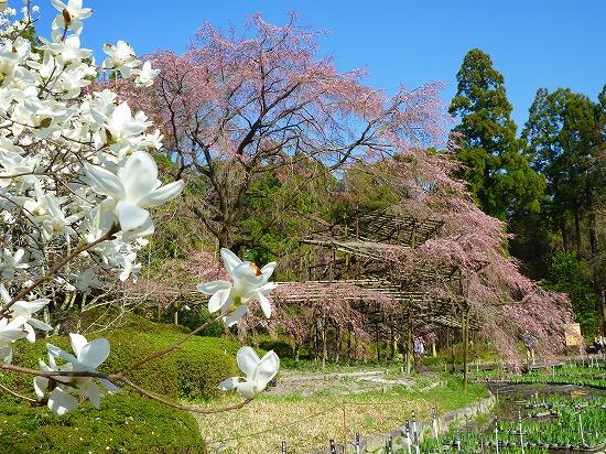 15,3,28 大枝垂れ桜