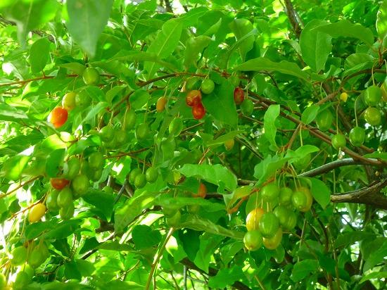 田植えイチゴ《グミ》5,21