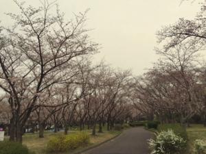 sakura2015-heiwakouen.jpg