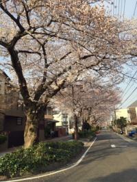 sakura2015-suidomichi.jpg