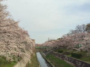 sakura2015-yamazakigawa.jpg