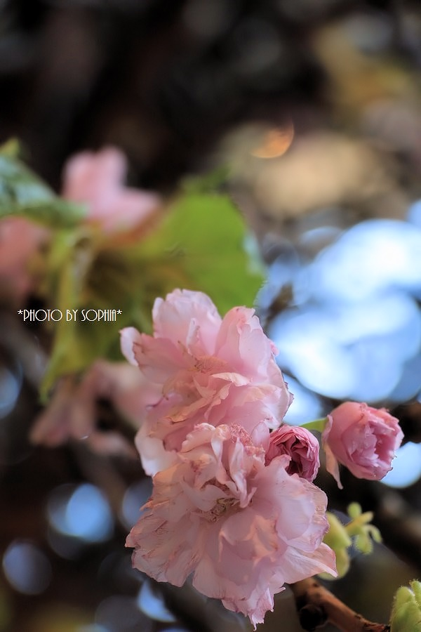 おもてなし桜