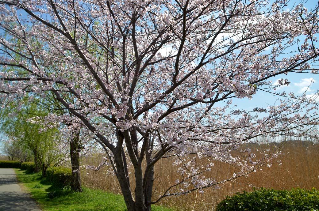 D70_0457手賀沼の桜