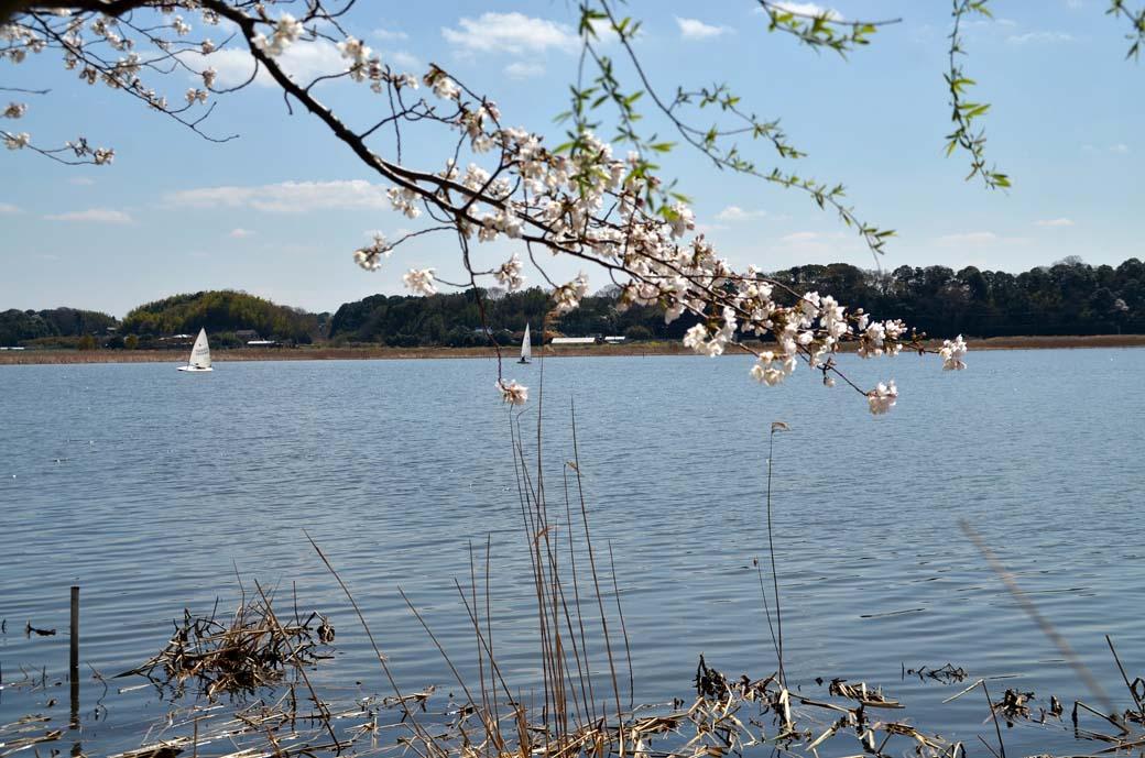 D70_0464手賀沼の桜