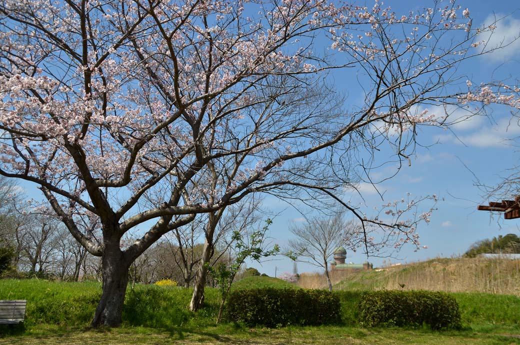 D70_0466手賀沼の桜