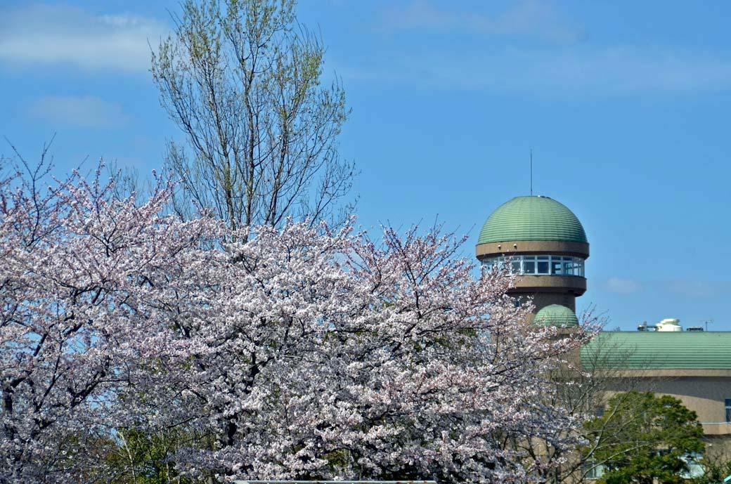 D70_0470手賀沼の桜