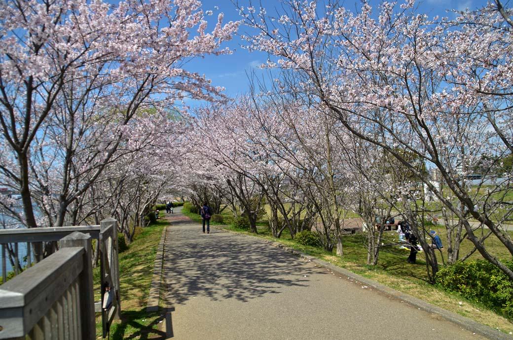 D70_0497手賀沼の桜