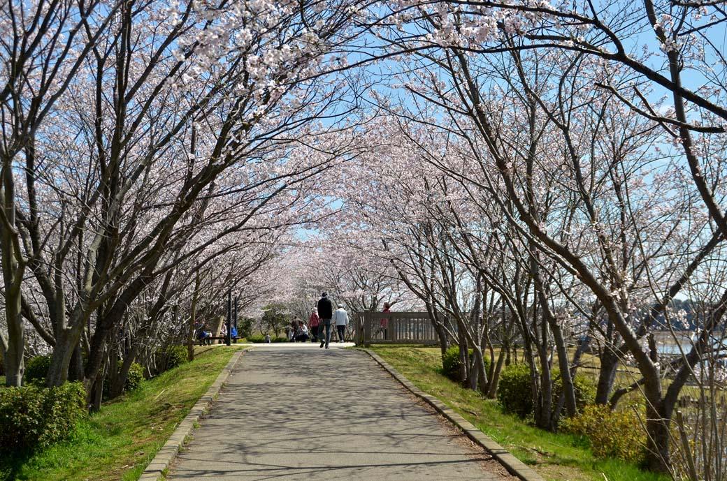 D70_0500手賀沼の桜