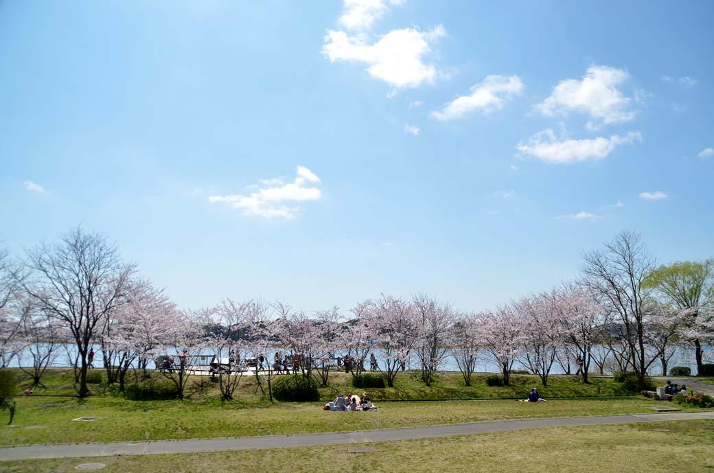 D70_0523手賀沼の桜