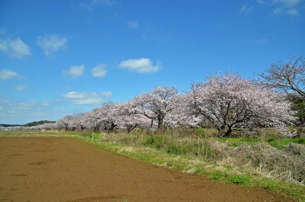D70_0257今井の桜