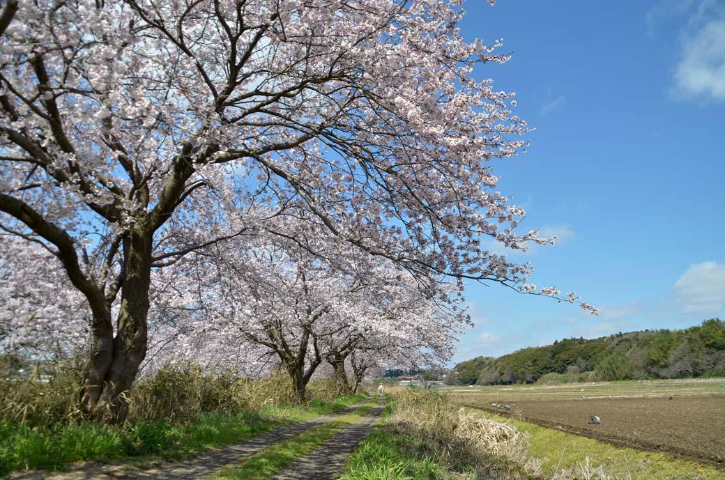 D70_0263今井の桜