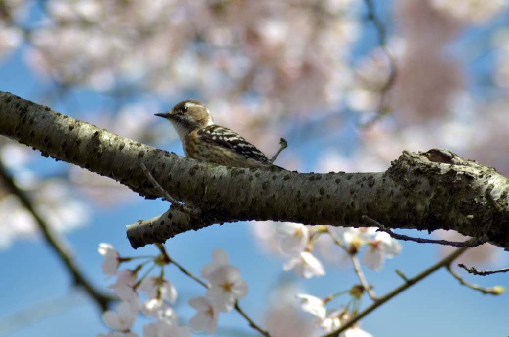 D70_0300今井の桜