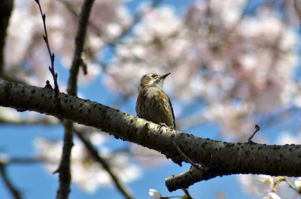 D70_0302今井の桜