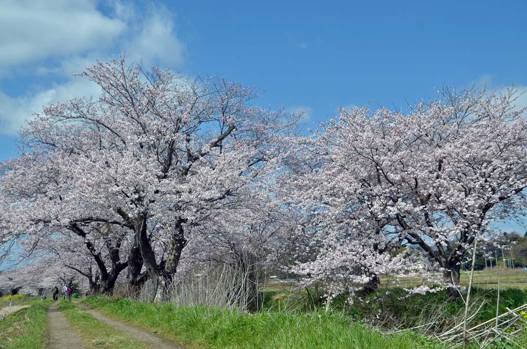 D70_0387今井の桜