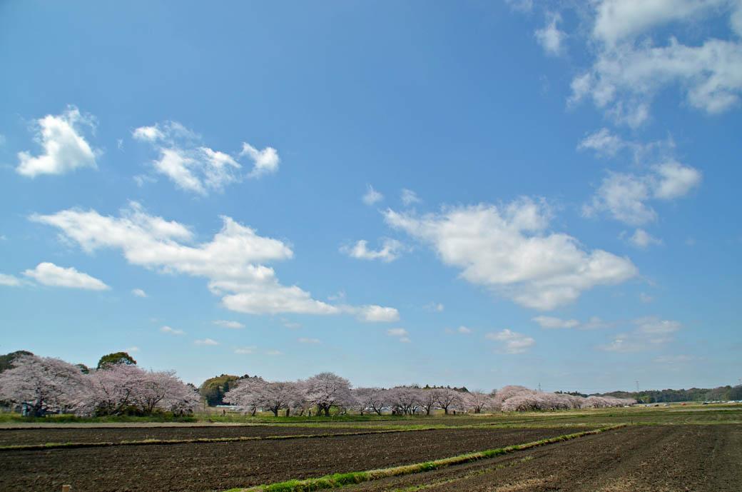 D70_0455今井の桜