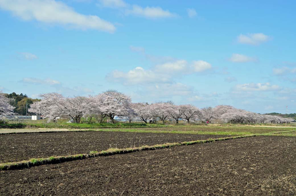 D70_0203今井の桜