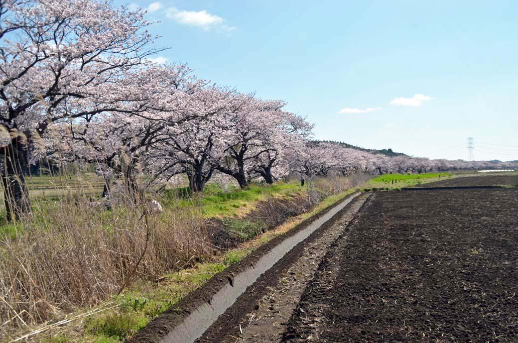 D70_0214今井の桜