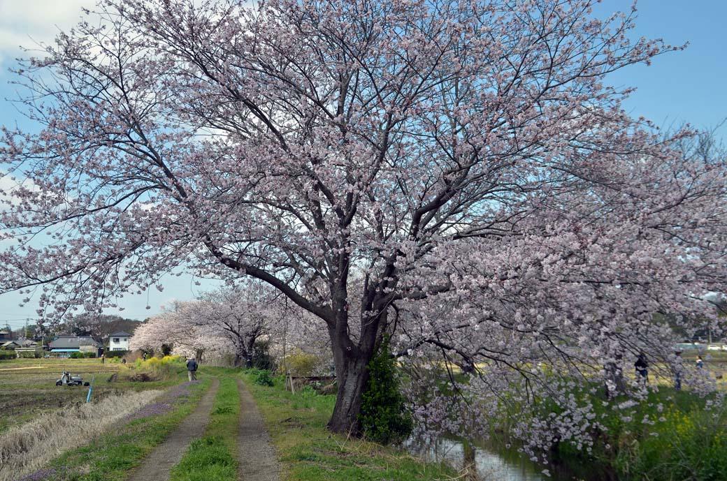 D70_0397今井の桜