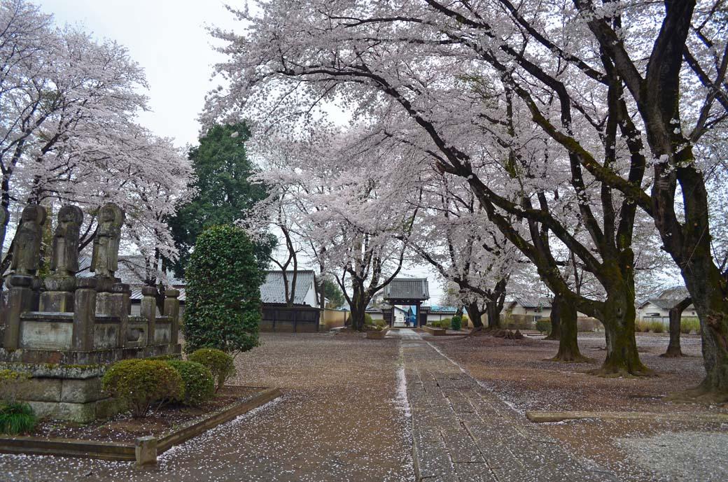D70_0662結城の桜