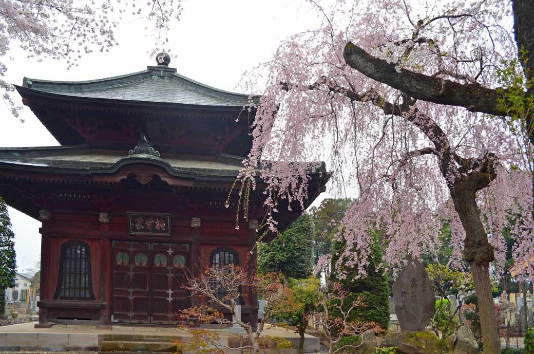 D70_0637結城の桜