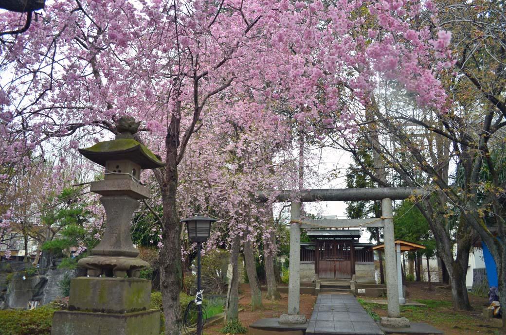 D70_0705結城の桜