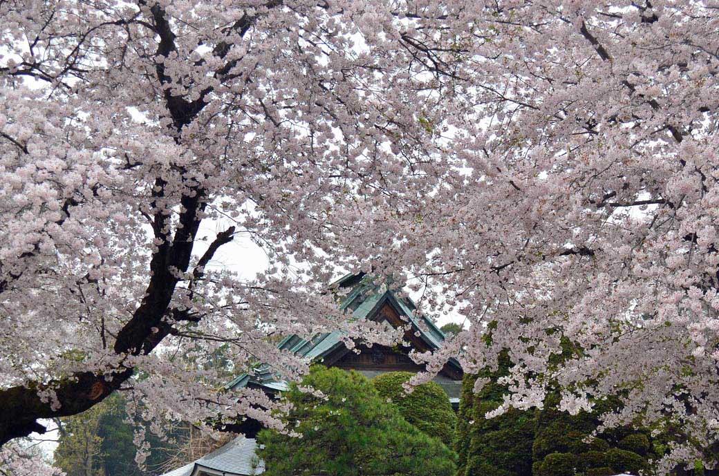 D70_0689結城の桜