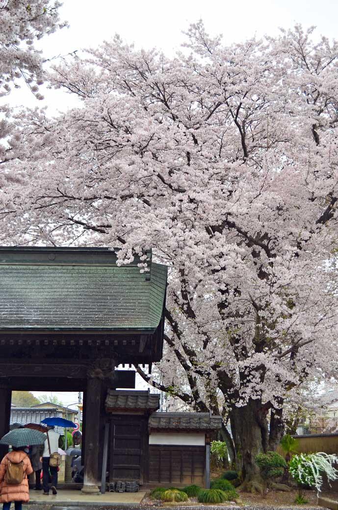 D70_0684結城の桜