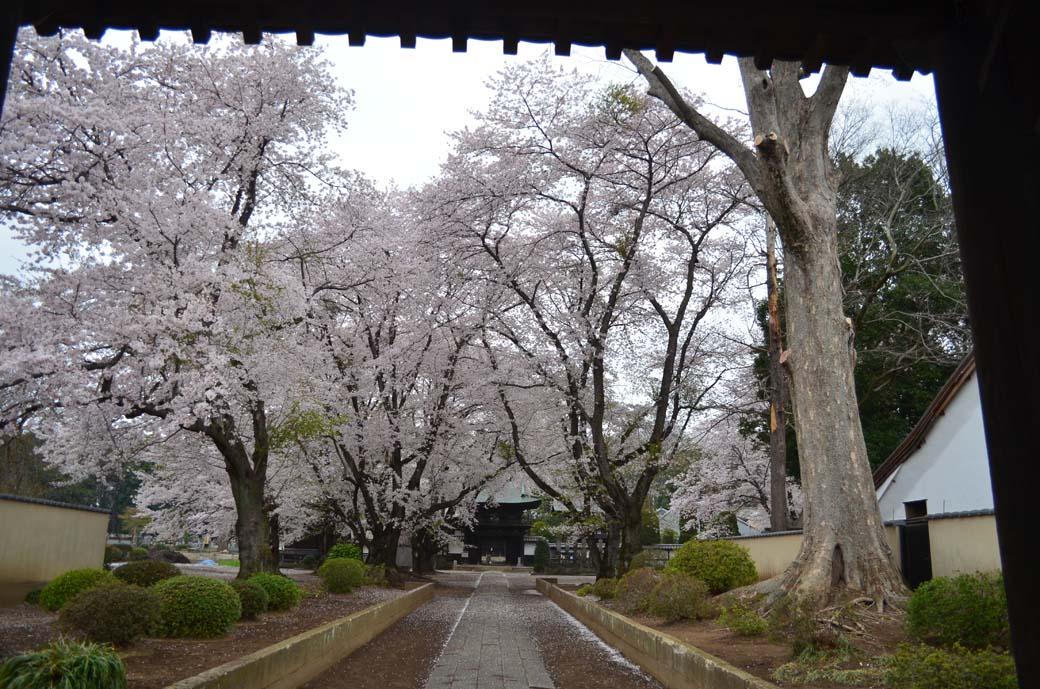 D70_0593結城の桜