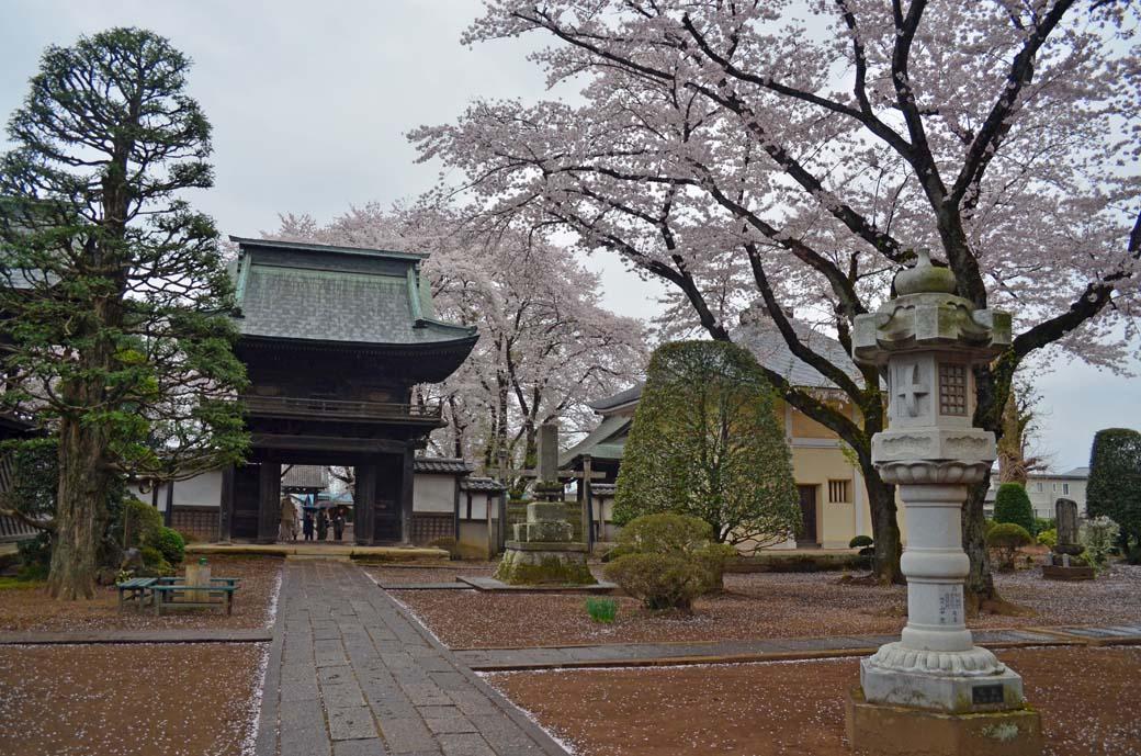 D70_0633結城の桜