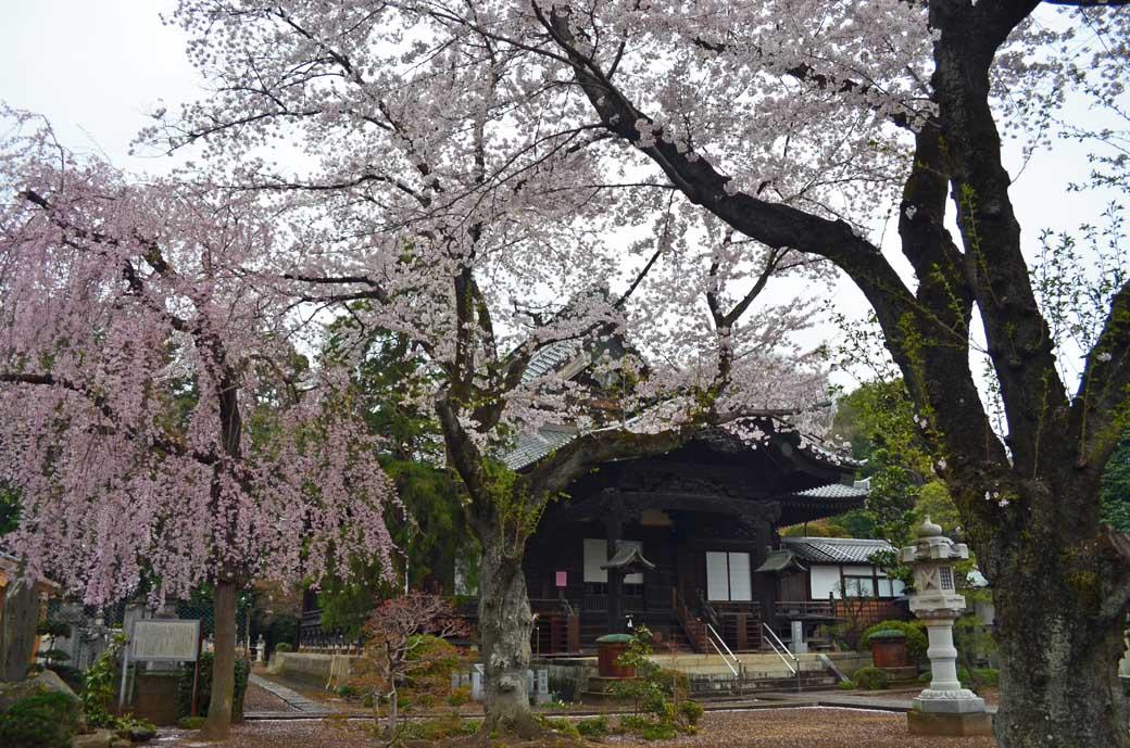 D70_0627結城の桜