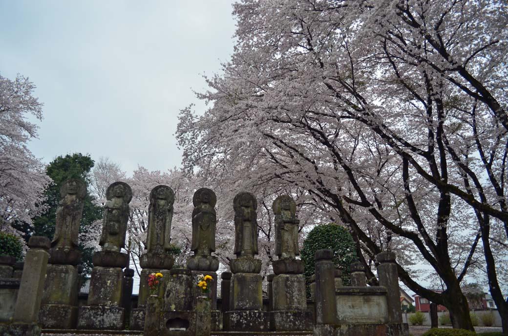 D70_0608結城の桜