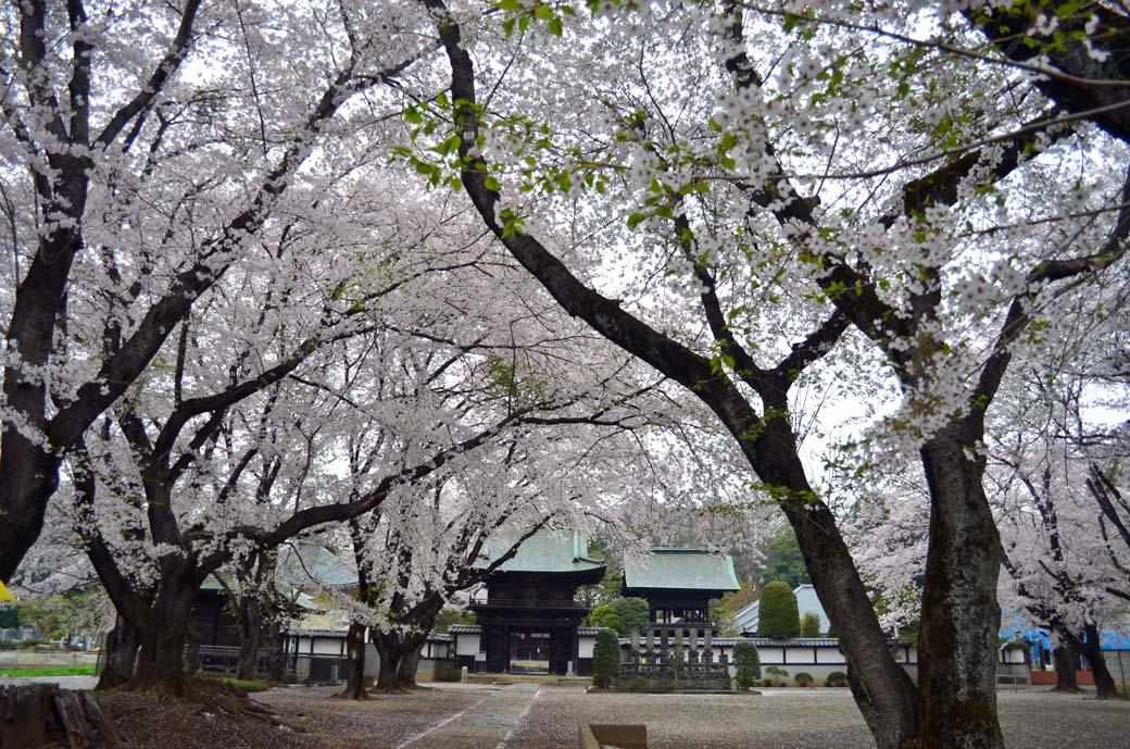 D70_0601結城の桜