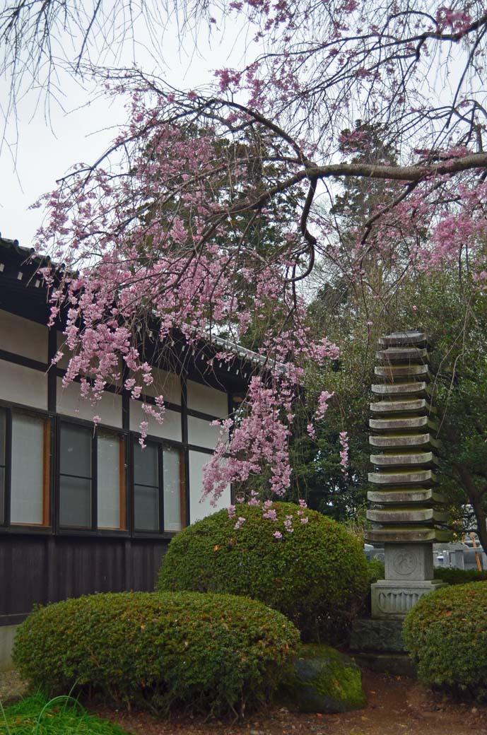 D70_0563結城の桜