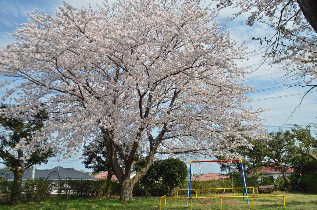 D70_0750布佐の桜