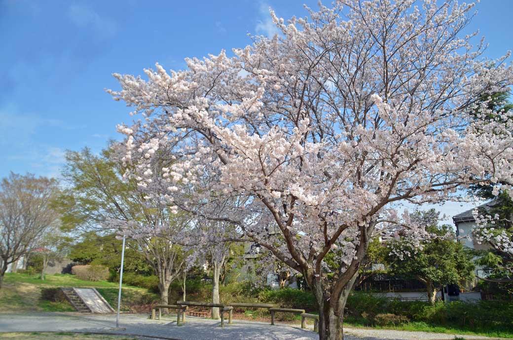 D70_0756布佐の桜