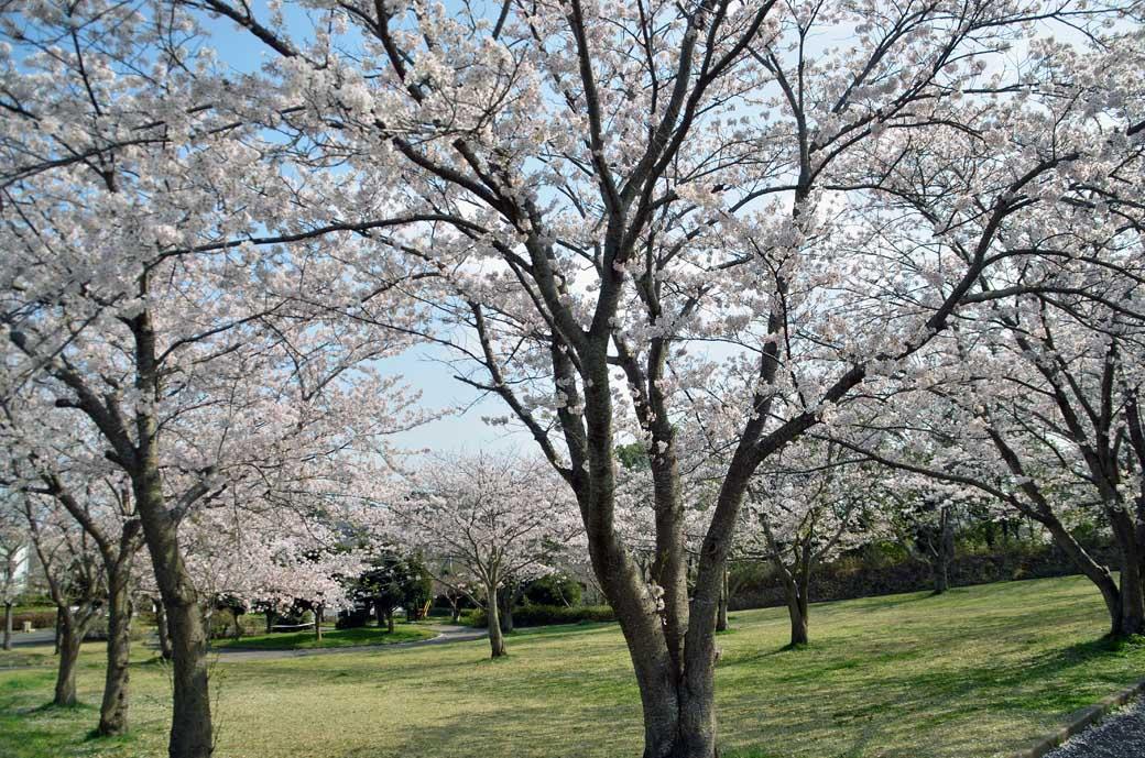 D70_0762布佐の桜