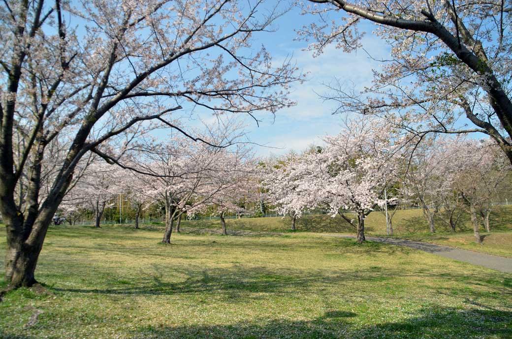 D70_0765布佐の桜