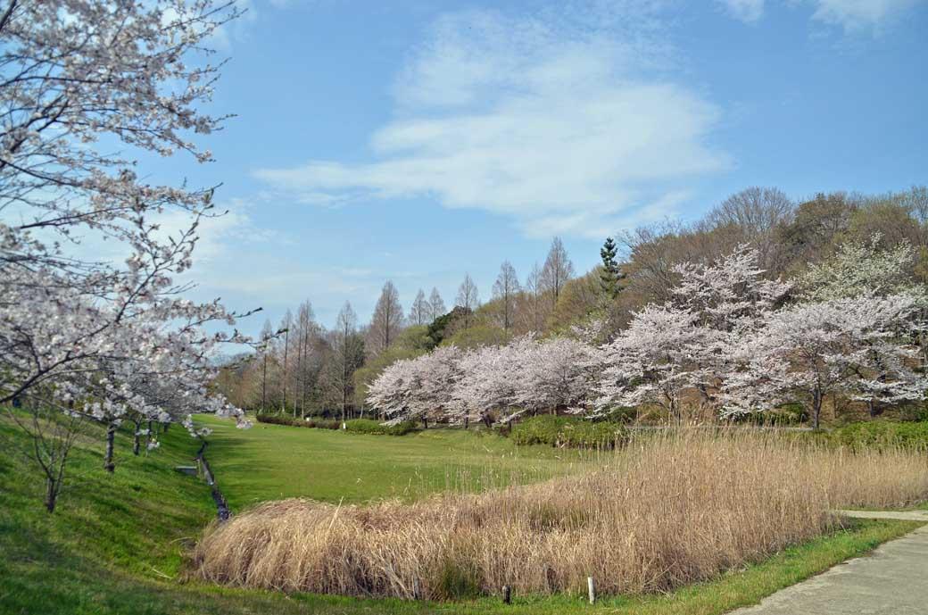 D70_0774布佐の桜