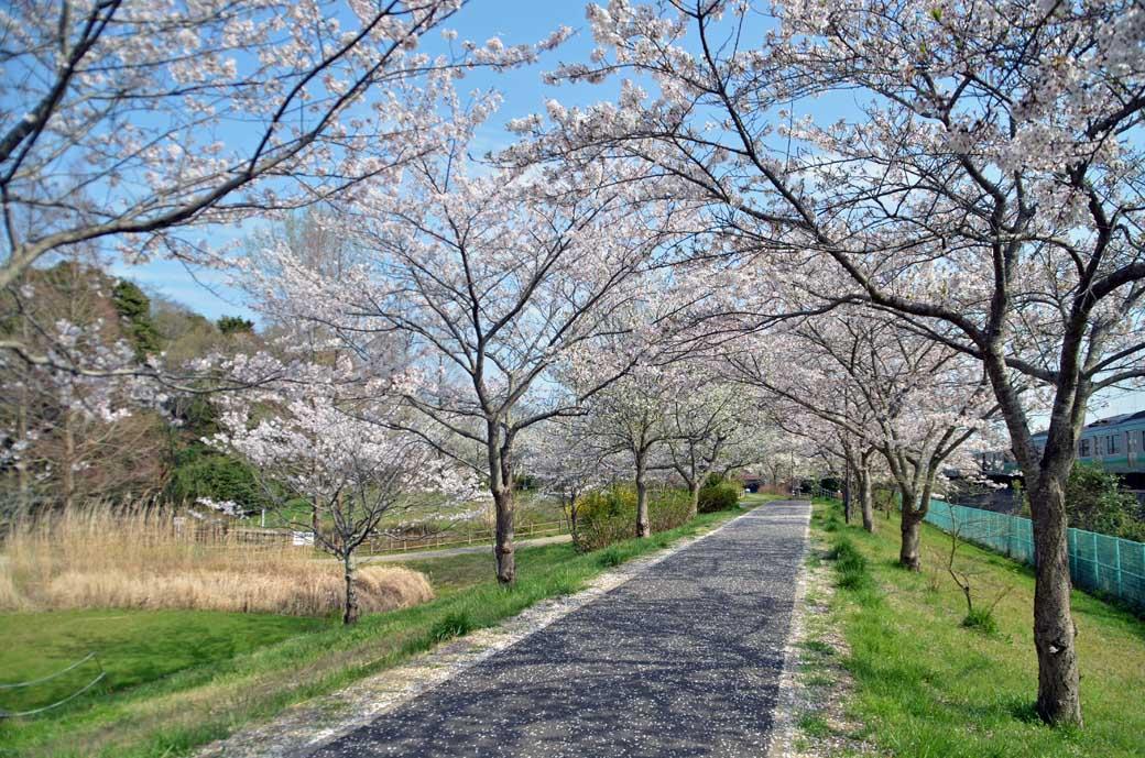 D70_0809布佐の桜
