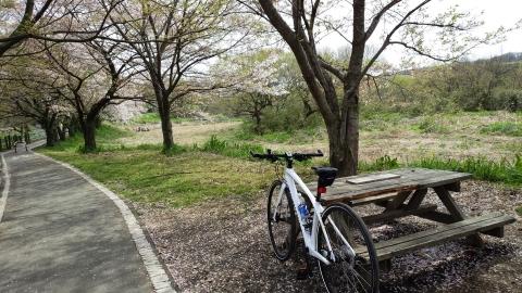 かなり散っていましたが、榎本牧場入り口付近のサイクリングロードでも桜が・・・風に散りゆく桜もまた趣があります。 width=