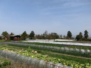 20150321_37キャベツ畑