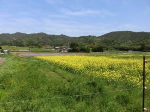 20150418_10菜の花畑