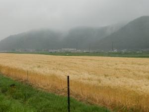 20150516_24麦畑