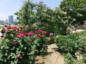 20150530_14中之島公園バラ園
