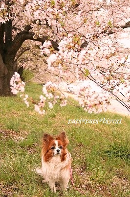 桜見納め2015