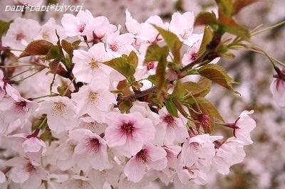 桜見納め◆2015